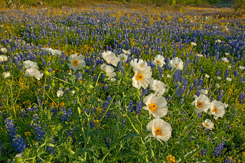 Texas wildflowers 728