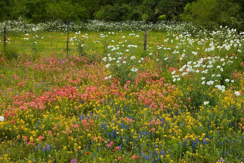 Texas wildflowers 084