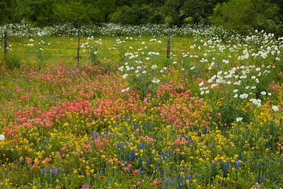 Texas wildflowers 084