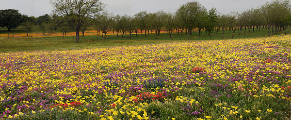 Texas wildflowers panorama