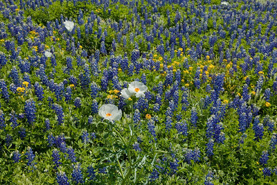 Texas wildflowers 284