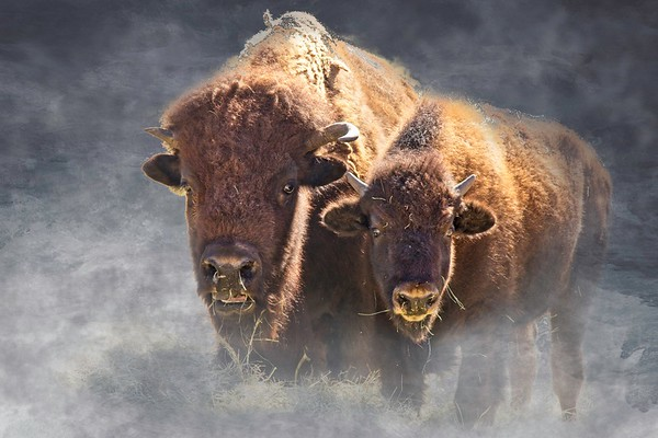 Mommy and Kid Buffalo