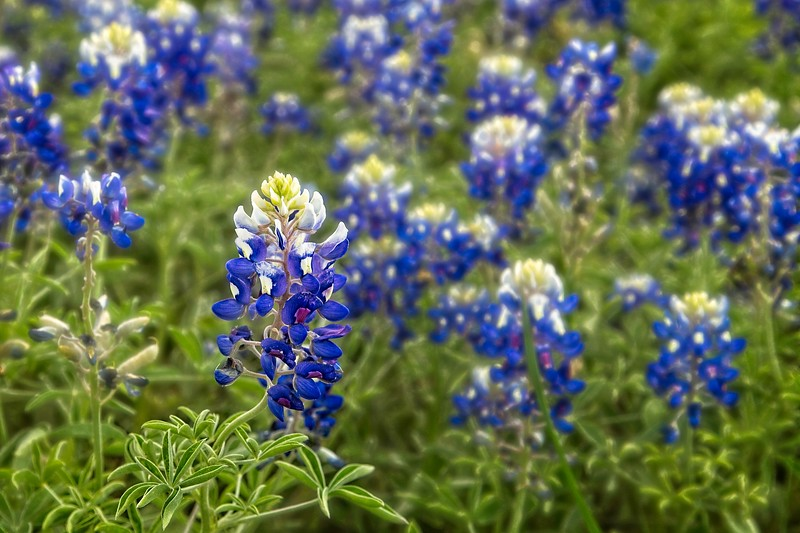 Texas Bluebonnets alongside the highway