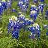 Texas Bluebonnets alongside the highway