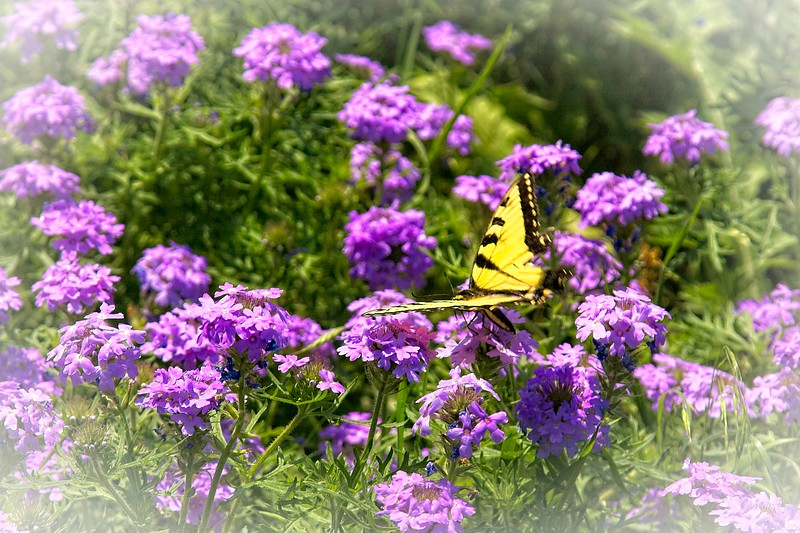 Yellow Swallowtail butterfly at Pedernales Falls State Park, Texas.