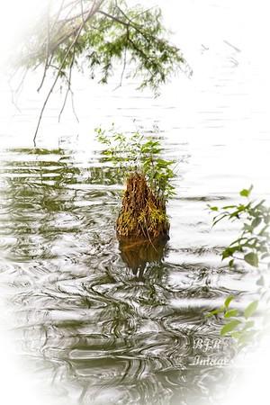 Guadeloupe River Stump