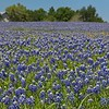 Blue Bonnets and Indian Paintbrushes