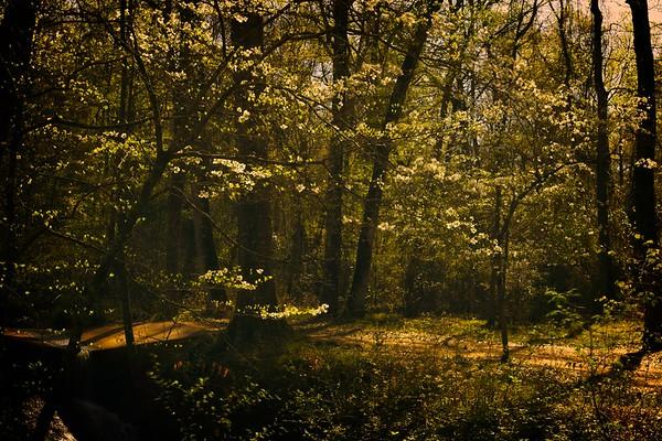 Dogwoods in The Davey Dogwood Park, Palestine, Texas