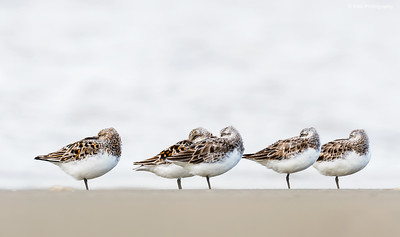 Flock of Sanderlings Sleeping at the Beach