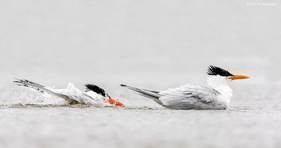 Royal Terns in Breeding Plumage