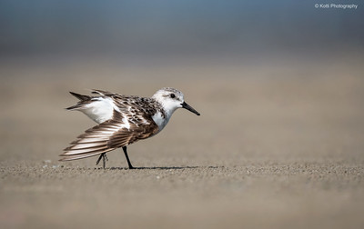 Sanderling Wing Display
