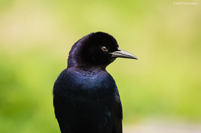 Common Grackle Portrait
