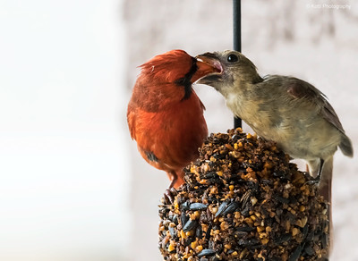 Male Northern Cardinal feeding a juvenile Fledgling