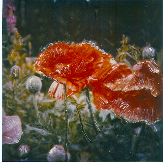 English Poppies