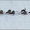 Bufflehead Ducks  Colusa National Wildlife Refuge