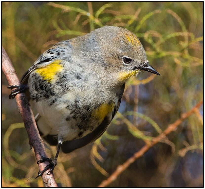 Yellow Rumped Warbler, North of Davis, CA