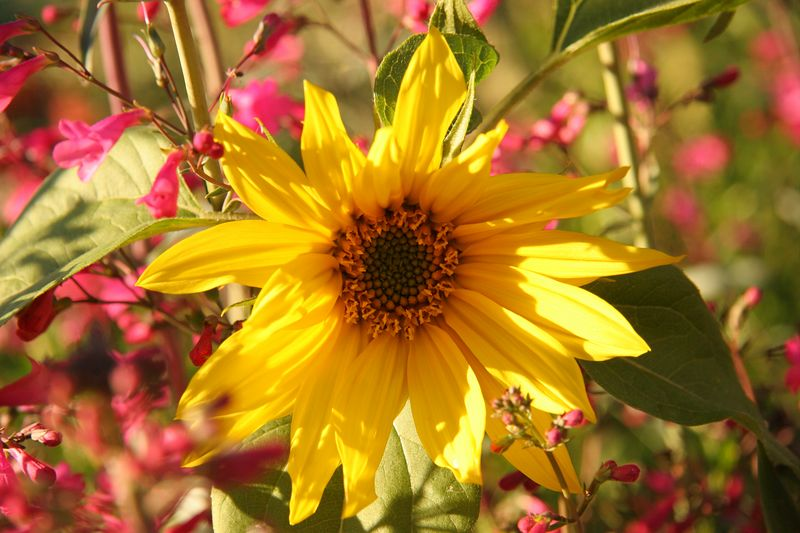 Sun Flower 4