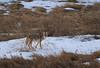 Coyote in the South Dakota Badlands