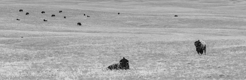 Bison in the South Dakota Badlands