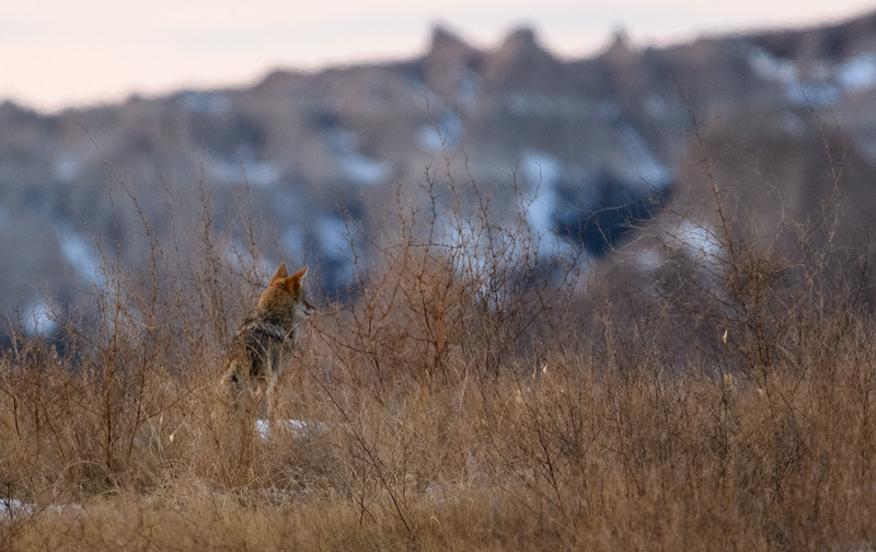 Coyote in the South Dakota Badlands