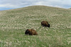 Bison in the South Dakota Badlands