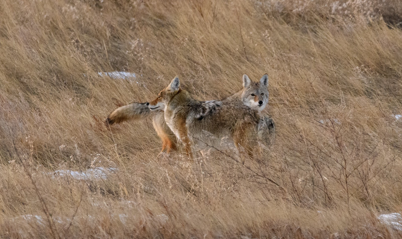 Coyotes in the South Dakota Badlands