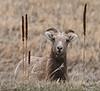 Bighorn Sheep in the South Dakota Badlands