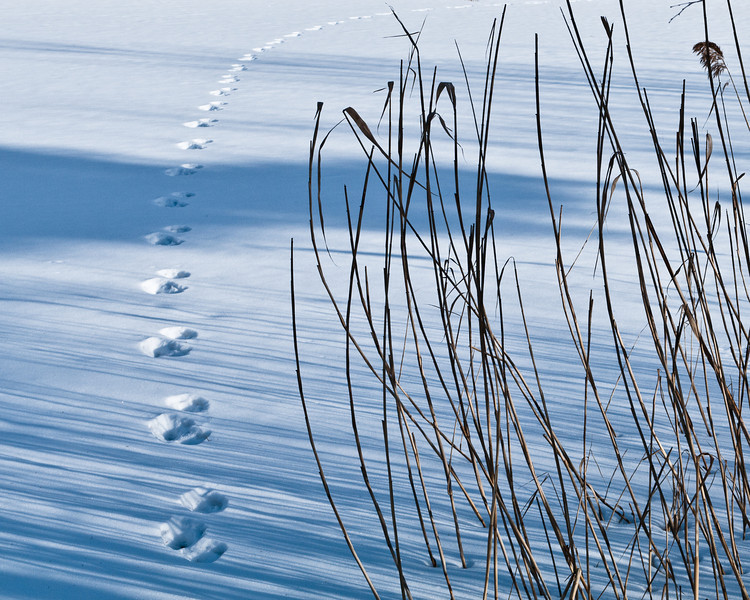 Hare tracks across the pond.