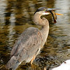Blue Heron eating fish