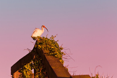 White Ibis and a Pink Sunset