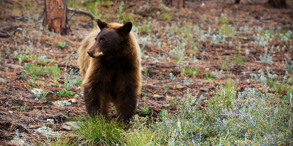 Brown Bear Indian Peaks Wildlife Refuge