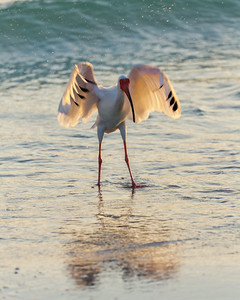 White Ibis Needs a Hug