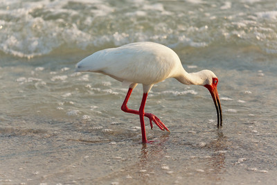 White Ibis on Holmes Beach