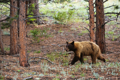 Brown Bear Near the Rockies