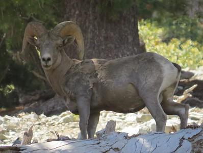 A male Bighorn Sheep