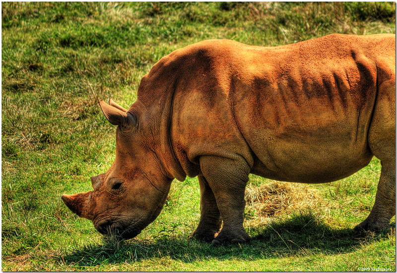 July 25<br /> Southern White Rhinoceros, largest of all rhino species