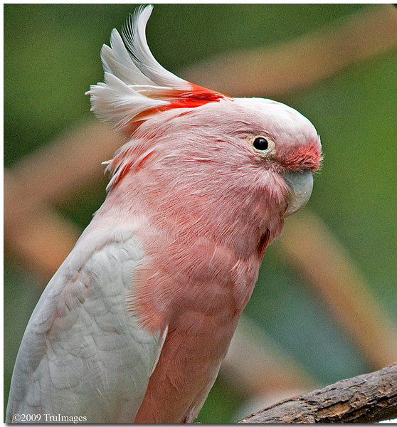 Leadbeater's Cockatoo