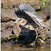 Sept 27<br /> A beautiful day at Jordan Lake<br /> <br /> The dance of the crane