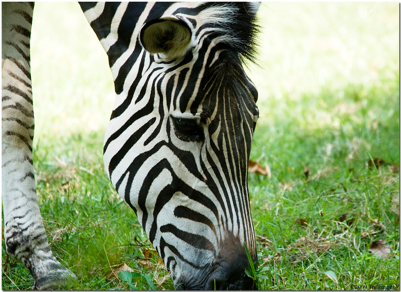 July 25 <br /> Grant's Zebra grazing.. everyone is eating today!