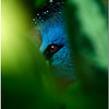 July 25<br /> the eye of the Victoria crowned pigeon
