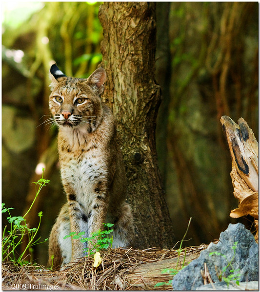 July 25<br /> The solitary Bobcat