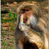 July 25<br /> Hamadryas Baboon having a snack