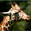 July 25<br /> Reticulated Giraffe nibbling on grass