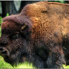 July 25<br /> The largest land animal in North America, the American Bison