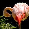 July 25<br /> a grooming lesser flamingo!