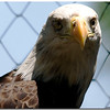 July 25<br /> The stare of the bald eagle