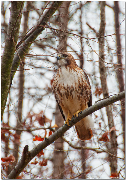 Dec 4<br /> A beautiful red tailed hawk