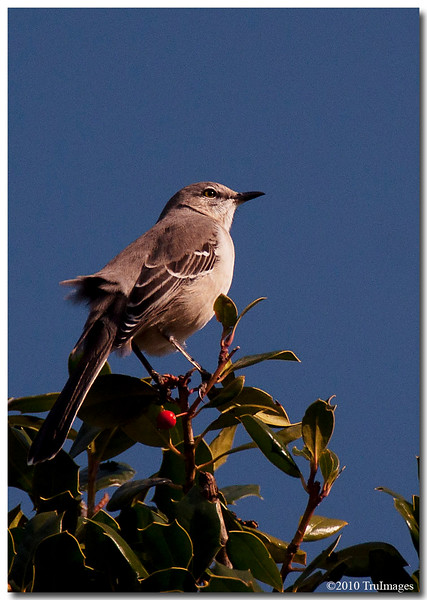 Nov 21<br /> Curious Mockingbird