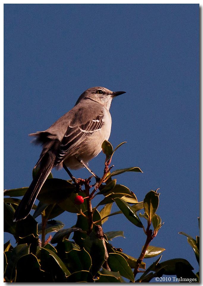 Nov 21<br /> Curious Mockingbird