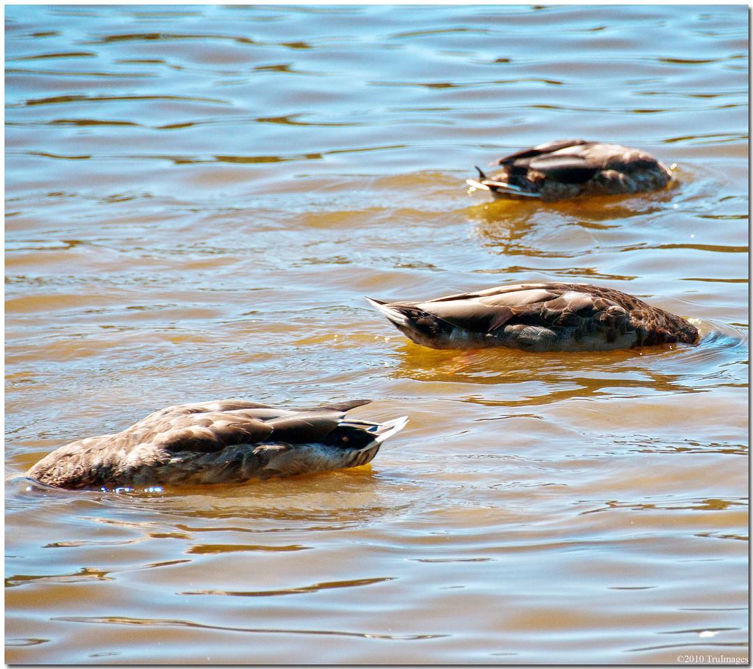 September 4<br /> 3 headless ducks!